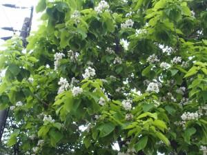 カタルパの木